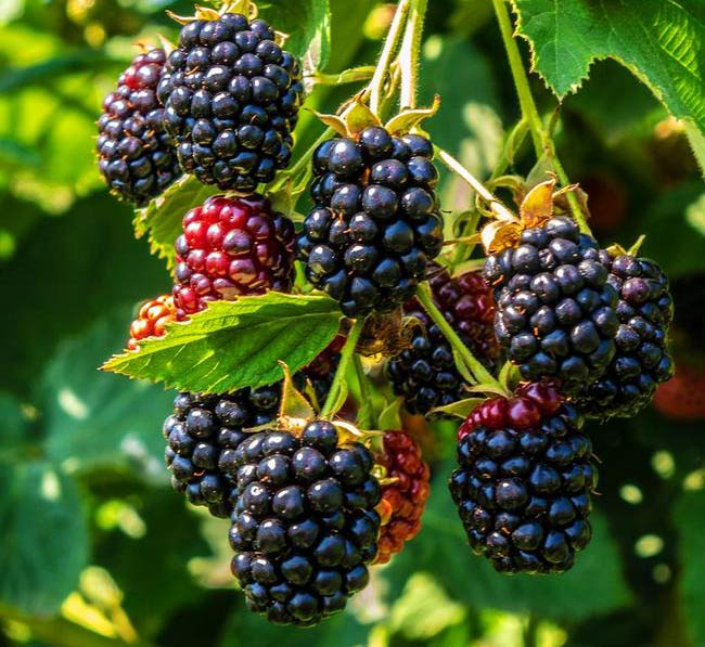 Growing technology of mulberry fruit