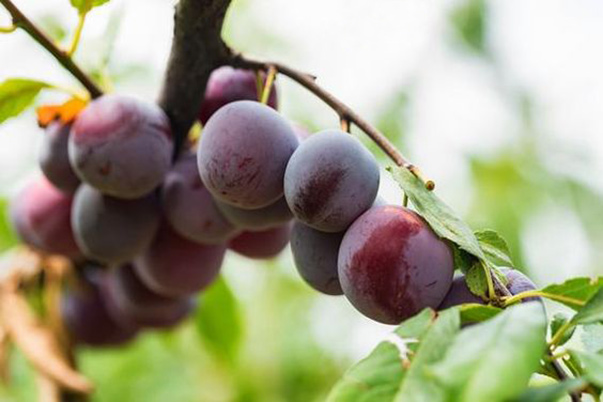 Cultivation technology of prunes