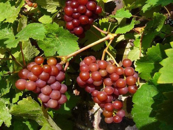 Nitrogen fertilization mainly promotes the new growth of branches and is closely related to fruit yield. fertilizer-application-techniques-for-grapes